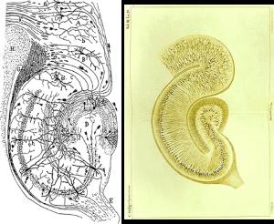 cajal_vs_golgi_hippocampus